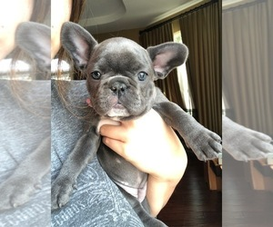 French Bulldog Puppy for sale in DOWNEY, CA, USA