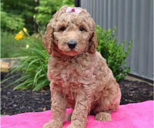 Poodle (Standard) Puppy for sale in COSHOCTON, OH, USA
