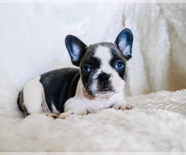 Medium Photo #12 French Bulldog Puppy For Sale in HESPERIA, CA, USA
