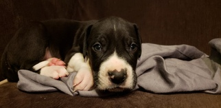 Great Dane Puppy For Sale in CHIPPEWA FALLS, WI, USA