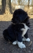 Pyredoodle Puppy For Sale in GOWER, MO, USA