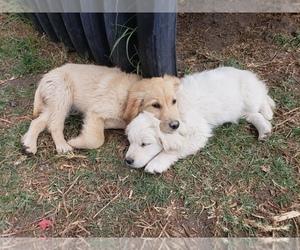 Golden Retriever Puppy for sale in YUCAIPA, CA, USA