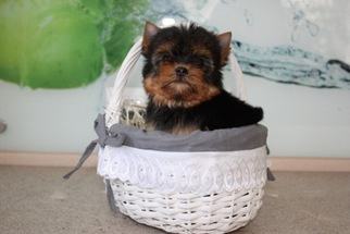 Yorkshire Terrier Puppy for sale in STAFFORD, VA, USA