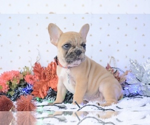 French Bulldog Puppy for Sale in HOUSTON, Texas USA