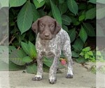 Small #2 German Shorthaired Pointer
