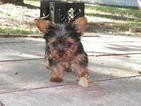 Yorkshire Terrier Puppy For Sale in COLLEGE STATION, TX, USA