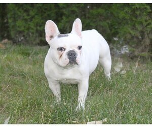 French Bulldog Puppy for Sale in CARVER, Oregon USA