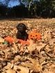 Boykin Spaniel Puppy For Sale in TRINITY, AL