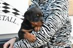 Rottweiler Puppy For Sale in WATERFORD, MI, USA