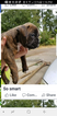 Boxer Puppy For Sale in RAINIER, WA,