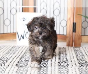 Shorkie Tzu Puppy for sale in NAPLES, FL, USA