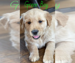 Small Photo #1 Golden Retriever Puppy For Sale in ROGERSVILLE, MO, USA
