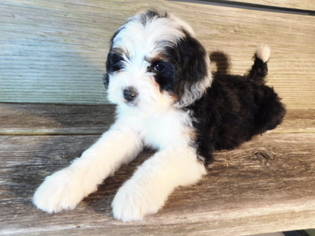 Miniature Bernedoodle Puppy For Sale in MILLERSBURG, OH, USA