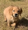Golden Retriever Puppy For Sale in NILAND, CA, USA