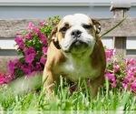 Puppy 4 Beabull-English Bulldog Mix