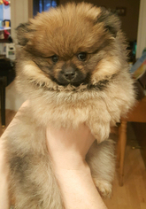 AKC Certified Pomeranian Champion Bloodline