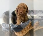 Puppy 3 Miniature Labradoodle