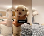 Puppy 5 Bichon Frise