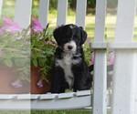 Puppy 0 Bernedoodle