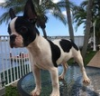 Faux Frenchbo Bulldog Puppy For Sale in MIAMI, FL
