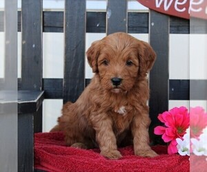 Goldendoodle-Poodle (Miniature) Mix Puppy for sale in RONKS, PA, USA