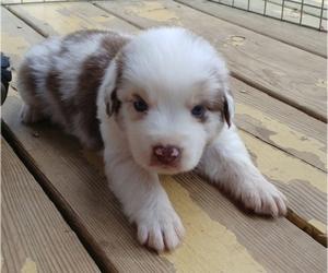 Australian Shepherd Puppy for sale in ALLEN JAY, NC, USA