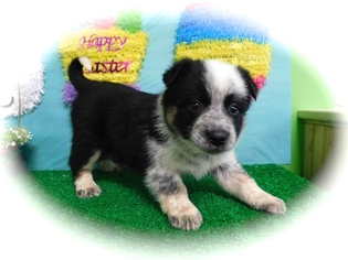 Blue Healer  border collie Mix Puppy For Sale in HAMMOND, IN, USA