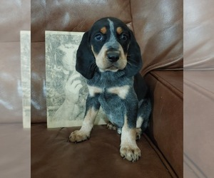 Bluetick Coonhound Dog for Adoption in STOKESDALE, North Carolina USA