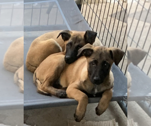 Belgian Malinois Puppy for sale in VIOLET, LA, USA