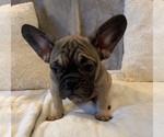 Small #18 French Bulldog