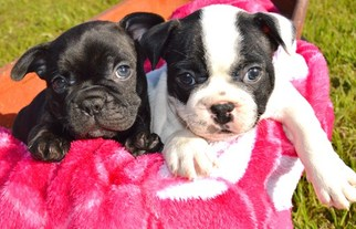 French Bulldog Puppy For Sale in LUFKIN, TX, USA