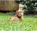 Small Olde English Bulldogge