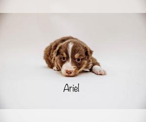 Australian Shepherd Puppy for Sale in CAMAS, Washington USA