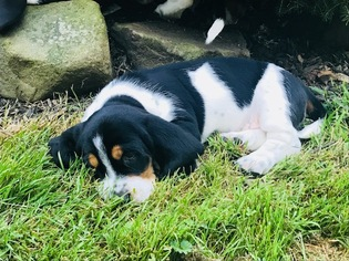 Basset Hound Puppies And Dogs For Sale In 43440 Usa Area