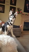 Siberian Husky Puppy For Sale in PALMDALE, California,