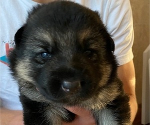 German Shepherd Dog Puppy for Sale in CHARLOTTE, North Carolina USA