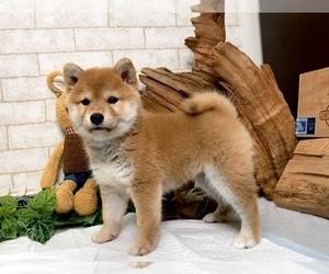 Shiba Inu Dog for Adoption in SEATTLE, Washington USA