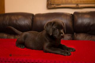 Labrador Retriever Puppy For Sale in STEVENS, PA, USA