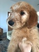 Goldendoodle Puppy For Sale in CANYON, TX, USA