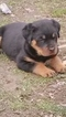 Rottweiler Puppy For Sale in SPENCER, IN, USA