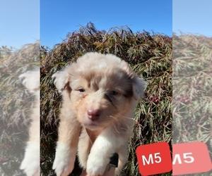 Australian Shepherd Puppy for Sale in VANCOUVER, Washington USA