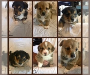 Pembroke Welsh Corgi Puppy for Sale in NASHVILLE, Tennessee USA