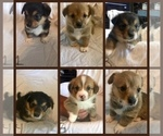 Pembroke Welsh Corgi Puppy For Sale in NASHVILLE, TN, USA