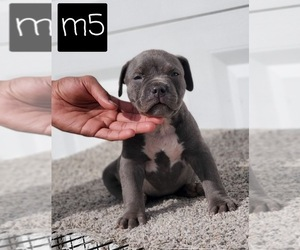 American Pit Bull Terrier Puppy for sale in ARLINGTON, TX, USA
