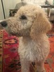 Labradoodle Puppy For Sale in HOUSTON, TX, USA