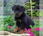 Small #2 Rottweiler