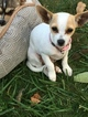 Chihuahua Puppy For Sale in STREETSBORO, OH, USA