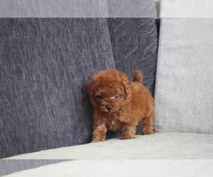 Poodle (Toy) Puppy for sale in MANHATTAN, NY, USA