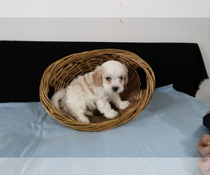 Cavachon Puppy for sale in HUDSON, MI, USA