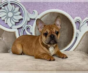 French Bulldog Puppy for sale in BALDWIN HILLS, CA, USA